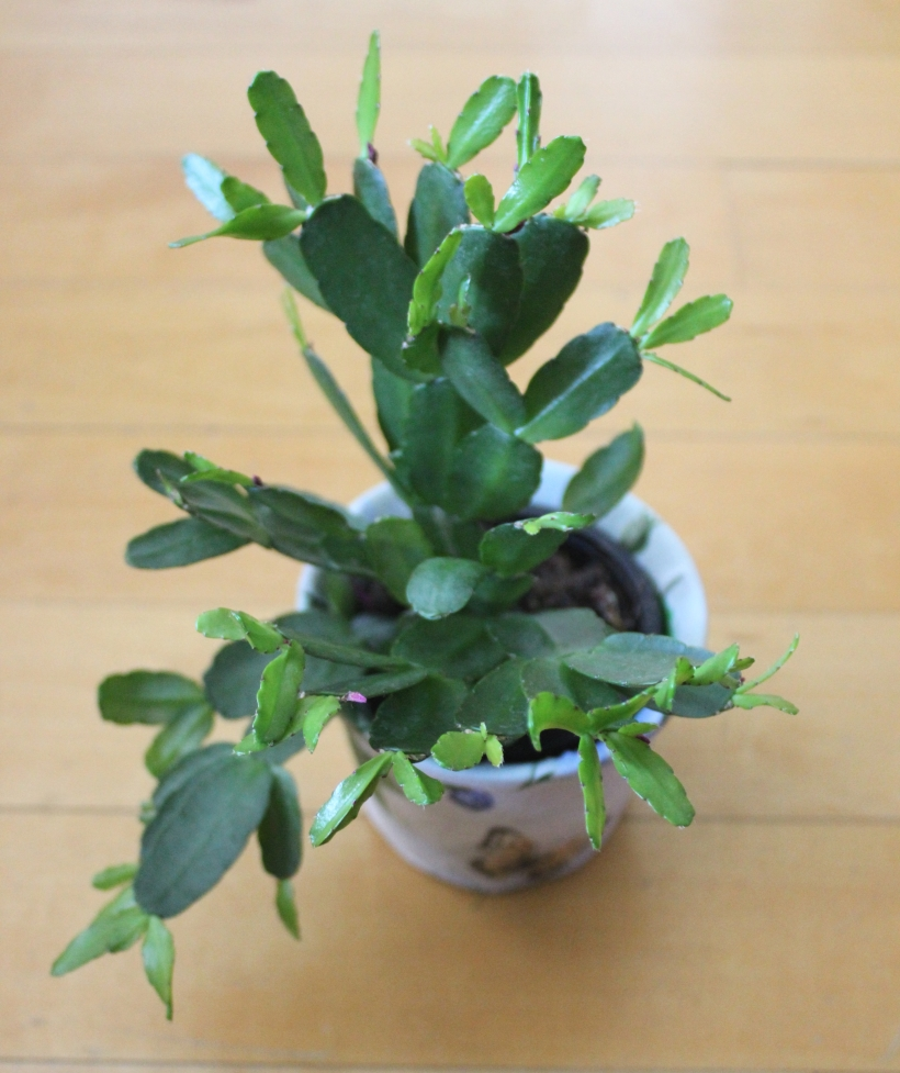 April Plant - An Easter Cactus